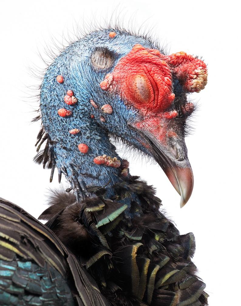Ocellated Turkey HD AOP