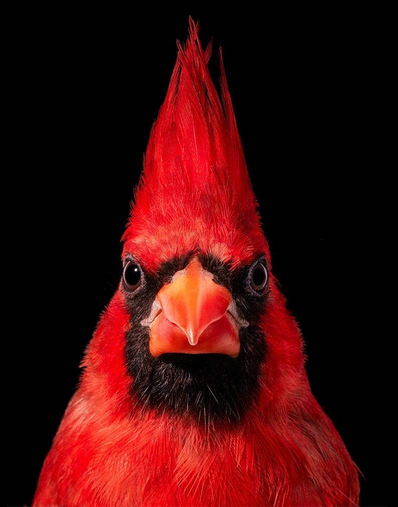 Virginia Cardinal HD AOP