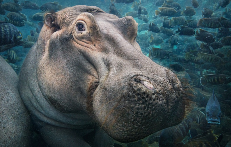 Tim 3 Hippopotamus Underwater copy