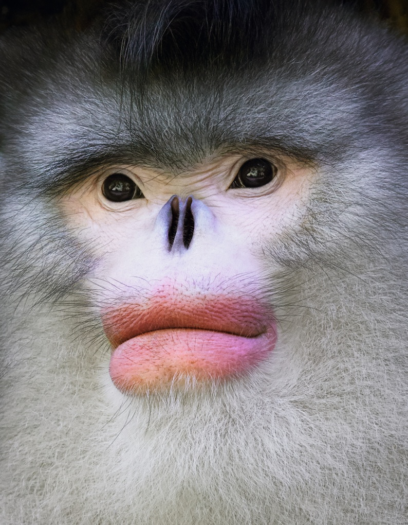 Tim 7 Yunan Snub Nosed Monkey Portait copy