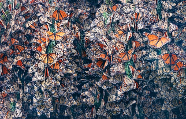 Tim 8 Monarch Butterflies Clustered copy