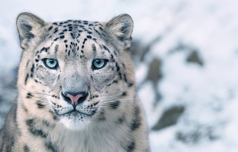 Tim 10 Snow Leopard Portrait copy