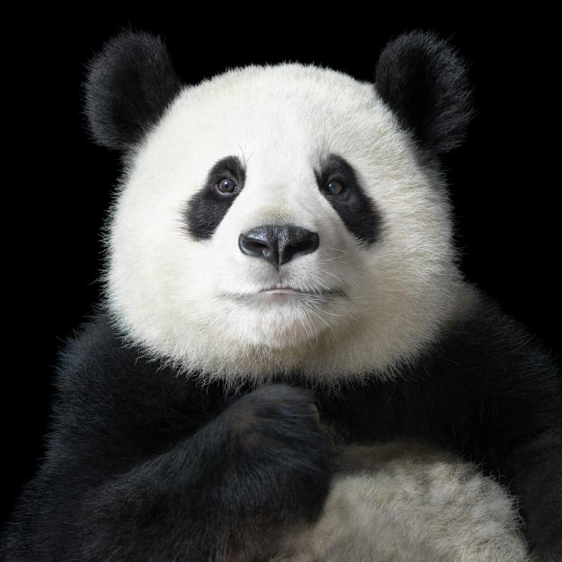 AP Panda Portrait XLarge copy