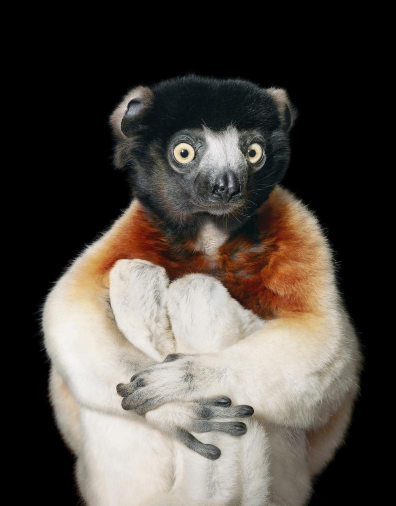 Crowned Sifaka Lemur copyright Tim Flach 1