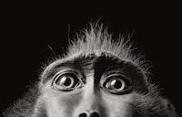 Tim Flach Monkey Eyes 2001 copy